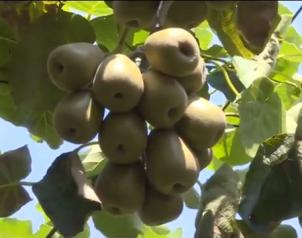 和平5.5万亩猕猴桃采摘上市
